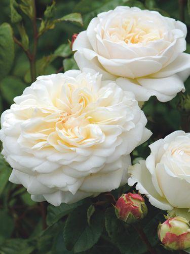 Роза Tranquillity