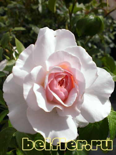 Great North Eastern Rose (2)