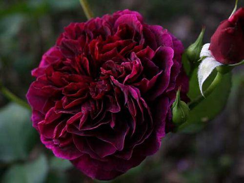 Роза Tradescant