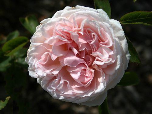 Роза St Swithun