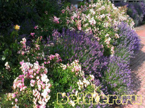 Цветник лавандой и почвопокровными розами