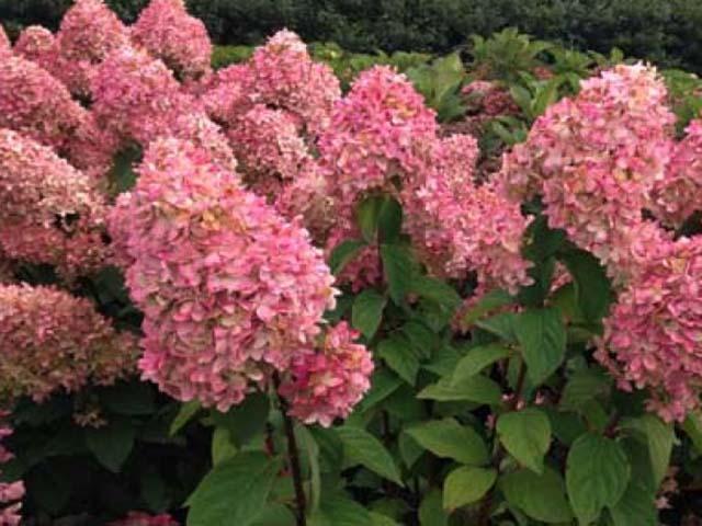 Гортензия розовая метельчатая фото